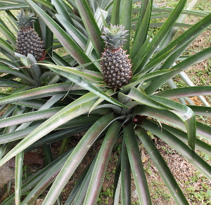 pineapples at tet paul