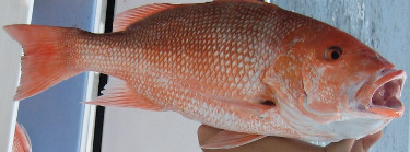 a beautiful red snapper